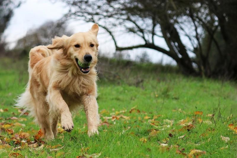 Golden Retriever - en kærlig og trofast ven for livet