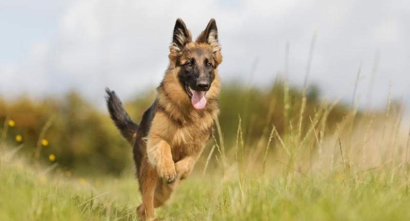 Schæferhunden – et blandet bekendtskab
