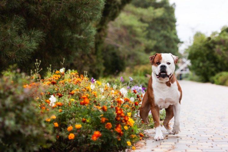 Amerikansk bulldog – indbegrebet af muskelhund