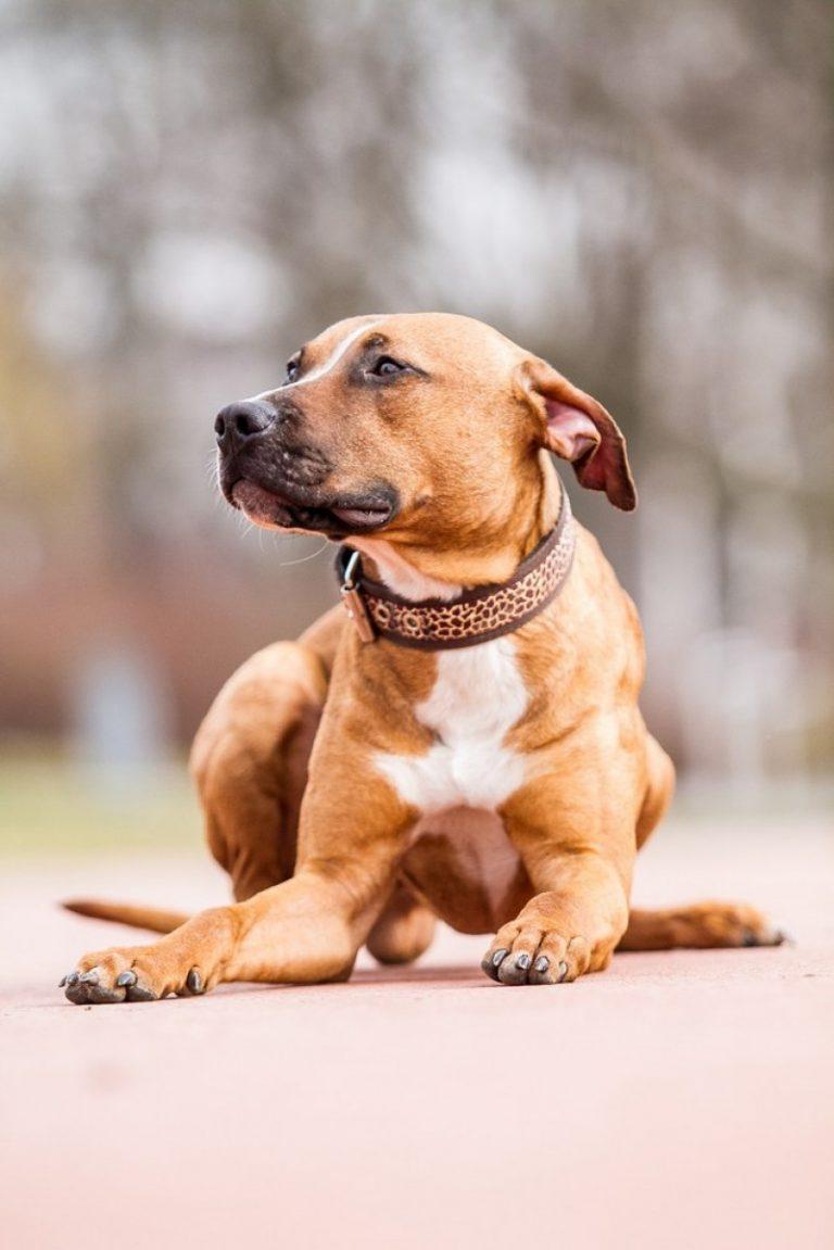 Den amerikanske pitbull terrier - smuk, men farlig