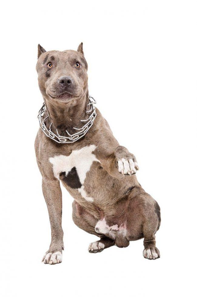 amerikansk pitbull terrier