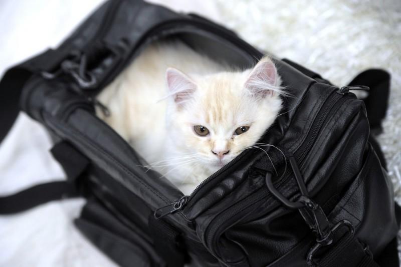 Indførsel af katte til Danmark